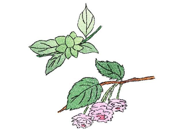 小島の八房梅と珠数掛桜